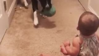 Pit Bull teaches baby how to play fetch - Video
