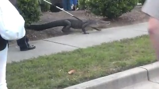 Alligator captured outside shopping center - Video