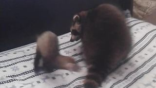 Raccoon and ferret are the best of friends - Video