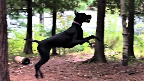 Great Dane puppy is very excited to find an avocado pit to play with