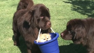 Pomeranian hitches ride in bucket from Newfoundland - Video