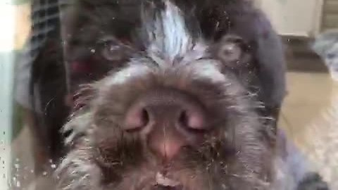 Wirehaired Pointer Makes Ridiculous Faces On Glass Door
