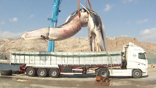 Heavy Load: Huge 35 Tonne Whale Lifted Onto Truck - Video