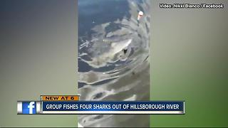 Tampa residents shocked to find bull sharks in Hillsborough River - Video