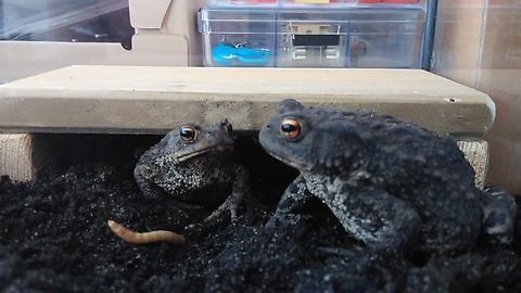 Toad feeding session is surprisingly funny