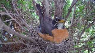 Baby Robins Hatch and are Ready for Breakfast - Video
