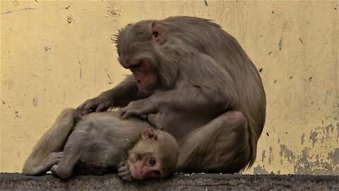 Baby monkey obediently lets mom groom him on a busy street in India