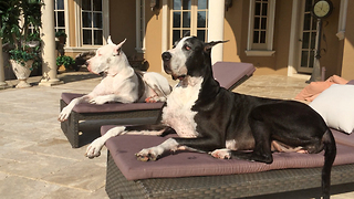 Two Great Danes enjoy sunbathing on chaise loungers - Video