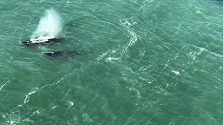 Humpback Whales Spotted Feeding Below Golden Gate Bridge - Video