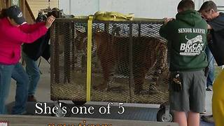 Big Cat Rescue takes in five tigers from Colorado as biggest rescue in U.S. history - Video