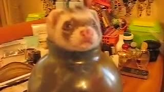Pet ferret plays in jar of sugar - Video