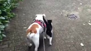 Bulldog finds himself a walking partner - Video