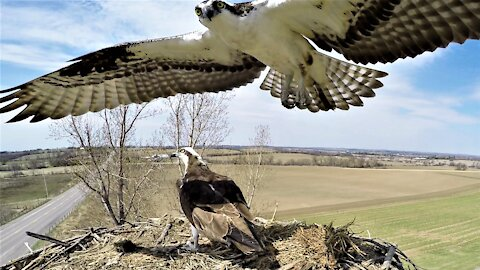 Fish eagle perches on nest camera during a break from romantic interlude