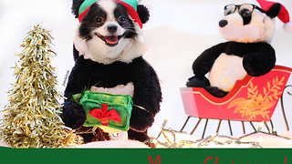 Panda puppy dog poses for Christmas card photo - Video