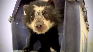 Orphaned Bear Cub Rescued - Video
