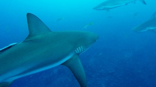 Divers Have Unexpected Close Encounter With Hungry Sharks