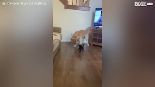 Big dog and small kitten are best friends