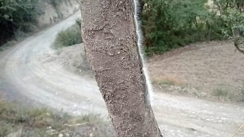 Eerie video shows thousands of hairy worms spotted slowly walking in unison up an entire tree