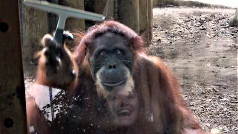 Orangutan cleans glass with squeegee to this woman's sheer delight