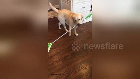 Dog sweeps up his own fur with a Swiffer