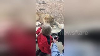 Lion tries to attack girl through glass - Video
