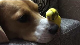 Doggy and parakeet have an unlikely friendship!