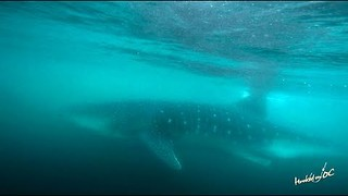 Whale Shark Gets Up Close and Personal With Swimmer Near Ocean City - Video