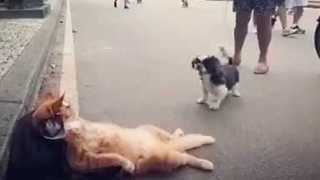 Cool Cat Has No Time to Play With Little Dog - Video