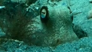 Googly-Eyed Octopus Plays Peekaboo With Diver - Video