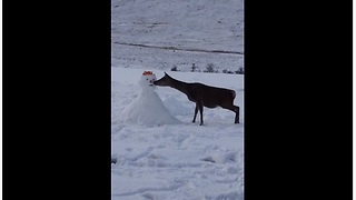 Cautious deer approaches snowman, eats his carrot nose
