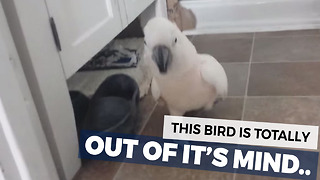 Talking Cockatoo In The Bathroom