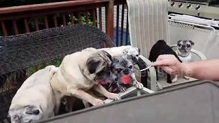 Adorable family of pugs enjoy watermelon feast - Video