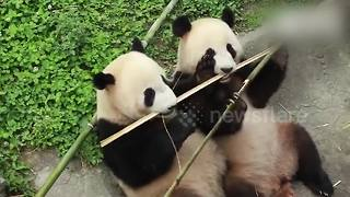 Cute video shows pandas sharing bamboo - Video