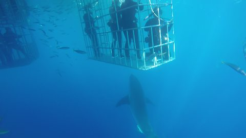Great White Shark Swims To The Surface With Great Speed
