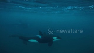 'Amazing to see and hear!': Orcas communicate with each other off coast of Norway - Video