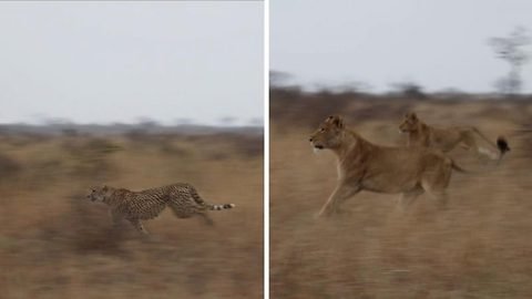 Tense moment where cheetah escapes a pack of charging lions