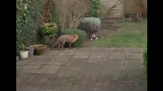 Fox and Cat Play Game of Chase in Garden