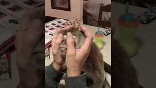 Spoilt Monkey Relaxes While Getting a Massage - Video