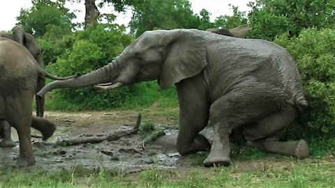 Bull elephant awkwardly sits down on all fours for stretch in the mud