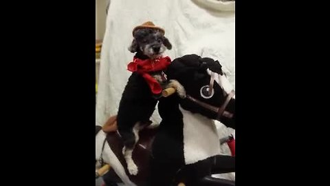 Dog dressed as cowboy rides toy horse