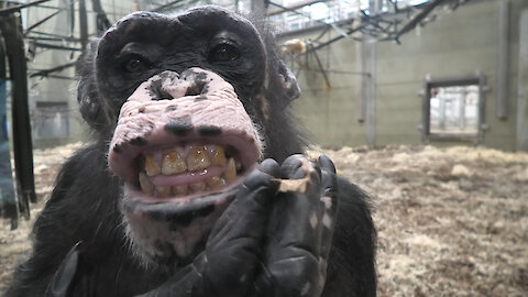 Chimpanzee combs her hair and pretends to smoke
