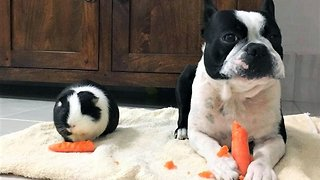 Twinning! Guinea Pig And Dog With Identical Markings Are Best Friends