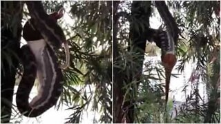 Snake hanging from a tree eats a possum whole