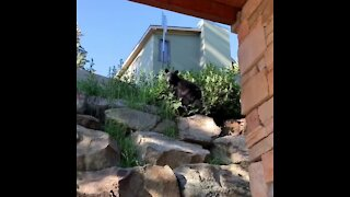 Crazy close bear encounter right outside Colorado home