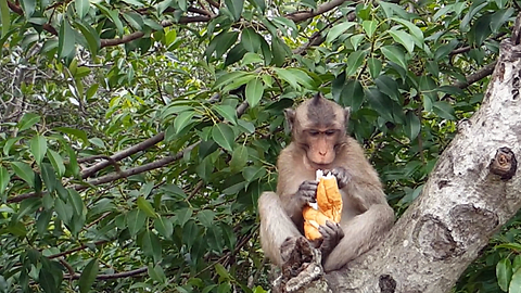 Cheeky Monkey Doesn't Want To Share His Sandwich