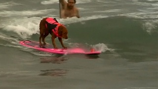 Surfing Dogs Hit The Waves - Video