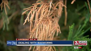 Dealing with bagworms - Video