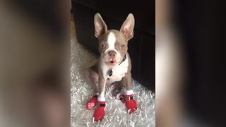 """A Boston Terrier Puppy Dog Wearing Christmas Boots And Barks ""Ho, Ho, Ho!"""""