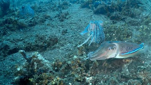 Cuttlefish throw down in underwater fight club
