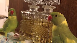 Parrot plays peekaboo with his own reflection